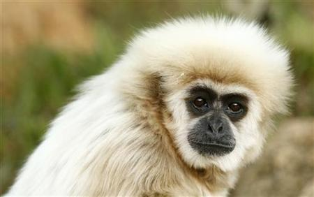 A white-handed gibbon looks up at the White House Press Corps during U.S. President Barack Obama's visit to the Honolulu Zoo in Hawaii January 3, 2011. REUTERS/Kevin Lamarque