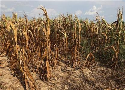 Corn plants struggle to survive on the drought-stricken land of farmer Scott Keach who owns 2500 acre Keach Farm in Henderson, Kentucky, July 24, 2012. REUTERS/ John Sommers II