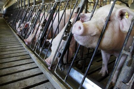 Sows feed at Whiteshire Hamroc farm in Albion, Indiana, March 16, 2012. REUTERS/John Gress