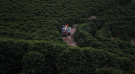 A tractor loaded with coffee beans is seen next to coffee plants during a harvest at a farm in Esp?rito Santo do Pinhal, 200 km (124 miles) east of Sao Paulo May 18, 2012. REUTERS/Nacho Doce