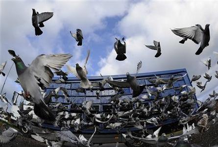 Racing pigeons are seen being released from their racing boxes as they start their flight from Alnwick to their home lofts across Yorkshire and Humberside in northern England April 21, 2012. REUTERS/Nigel Roddis