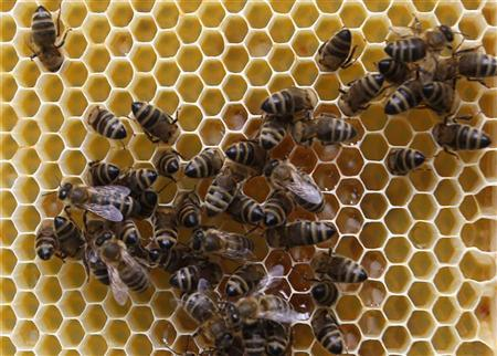 Bees gather on a honeycomb in Vienna, July 11, 2012. REUTERS/Lisi Niesner