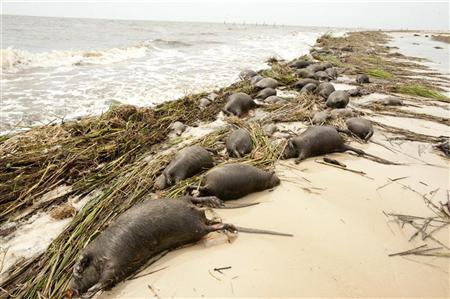 Nutria rodents pile up along the shore after Hurricane Isaac went through Waveland, Mississippi, August 31, 2012. REUTERS/Michael Spooneybarger