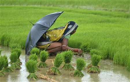 A woman farmer works in a paddy field in Orissa July 25, 2012. REUTERS/Stringer/Files