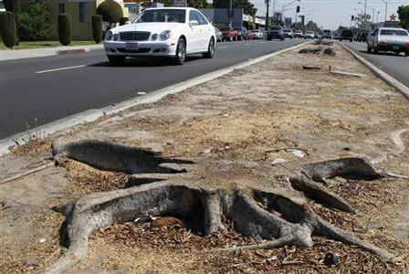 A tree stump is pictured along the median strip on Manchester Boulevard in Inglewood, California September 18, 2012. Trees have been removed from the median strip in preparation for the movement of the space shuttle Endeavour along 12 miles (19 km) of city streets in October 2012. Clearing an unobstructed route for the retired spaceship to take from Los Angeles International Airport to the California Science Center will require cutting down nearly 400 trees in all, and the temporary removal of hundreds of utility poles, street lights and traffic signals, officials say. But the science center, which is organizing the two-day move, promises to plant 1,000 new trees in place of those taken down. REUTERS/Fred Prouser
