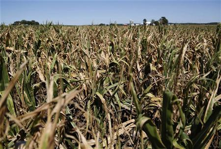Underdeveloped corn crops, which have been affected by heat and drought, are seen at the Sunburst Dairy farm near Belleville, Wisconsin September 6, 2012. REUTERS/Darren Hauck