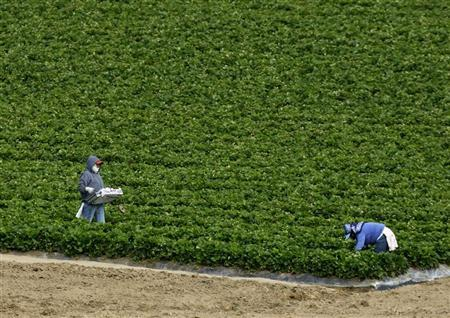 Farm workers pick strawberries at a farm in Cardiff, California May 28, 2008. REUTERS/Mike Blake