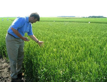 Michael Doane, Monsanto's wheat industry affairs director, looks at growth in a wheat field in an undisclosed location in North Dakota in this undated file photo. Monsanto shares fell 2.2 percent to $88.59 after the agribusiness group posted a fourth-quarter loss during a seasonally sluggish sales period. REUTERS/Carey Gillam/Files