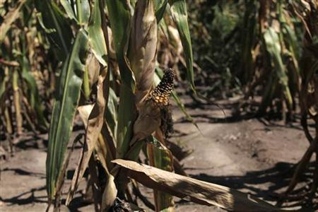 A half developed cob of corn is seen at a field in Sunburst Dairy farm near Belleville, Wisconsin September 6, 2012. REUTERS/Darren Hauck
