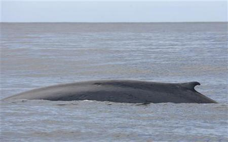 A blue whale surfaces in the El Corcovado gulf near the island of Melinka in the Aysen region, about 1200km (750 miles) south of Santiago, March 26, 2008. REUTERS/Ivan Alvarado