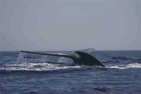 A blue whale surfaces in the Bass Strait waters off Australia January 16, 2012. REUTERS/Australian Antarctic Division/Handout
