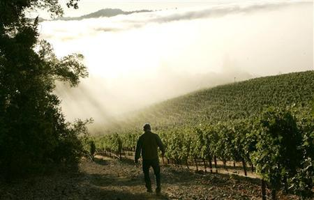 A vineyard shrouded in fog during the wine harvest season in Rutherford, California September 12, 2008. REUTERS/Robert Galbraith