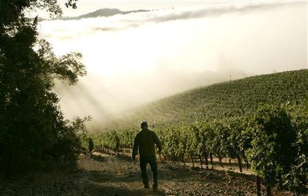 A vineyard shrouded in fog during the wine harvest season in Rutherford, California September 12, 2008. REUTERS/Robert Galbraith