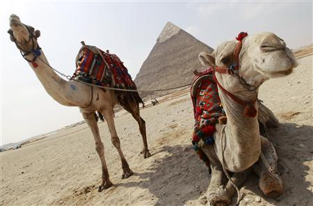 Camels rest near the pyramids in Giza outside of Cairo in this March 1, 2011 file photo. When Islamic scholar Zaghloul el-Naggar recommended the consumption of camel urine, describing it as an Islamic remedy for incurable diseases on a television show in September 2012, the channel's switchboard was bombarded with angry phone calls within minutes. REUTERS/Peter Andrews/Files