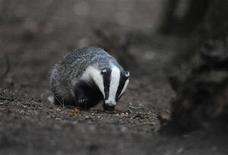 A badger walks through woodland near Pickering, northern England in a July 21, 2011 file photo. Senseless massacre to some, a necessary evil to others, a plan to cull thousands of wild badgers to stem the spread of tuberculosis in cattle is sharply dividing rural England. REUTERS/Nigel Roddis/files
