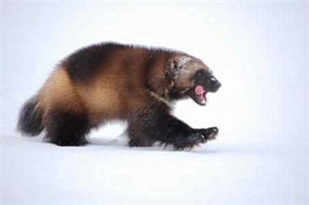 A wolverine in the snow in an undated photo. REUTERS/U.S. Fish and Wildlife