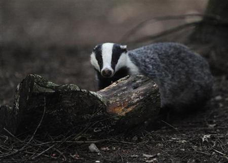 A badger walks through woodland near Pickering, northern England, July 21, 2011. REUTERS/Nigel Roddis