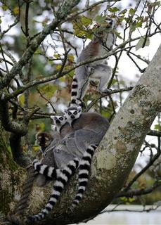 A family of ring tail Lemurs sit amongst the trees as the leaves start to fall in one of the largest Lemur walk-throughs in Europe at Manor House Wildlife Park, St Florence, Tenby, West Wales October 14, 2012. REUTERS/Rebecca Naden