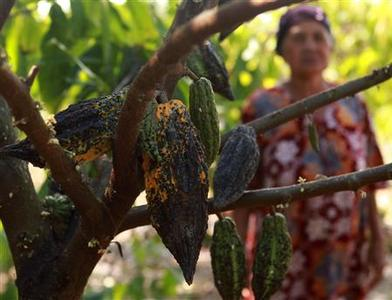A farmer stands near cocoa fruit in a cocoa plantation in Pinrang district in Indonesia's South Sulawesi province September 20, 2012. REUTERS/Yusuf Ahmad