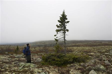 Mountain guide Eduardo Zuniga stands by an ancient spruce in Fulufjallet, southern Sweden, October 4, 2012. On a windswept Swedish mountain, a 10,000-year-old spruce with a claim to be the world's oldest tree is getting a new lease of life thanks to global warming, even as many plants are struggling. At a range of latitudes, but especially in the far north, climate change is bringing bigger than expected swings, putting billions of dollars at stake in a push to develop varieties with resilience to frost and heatwaves, drought or flood. REUTERS/Alister Doyle