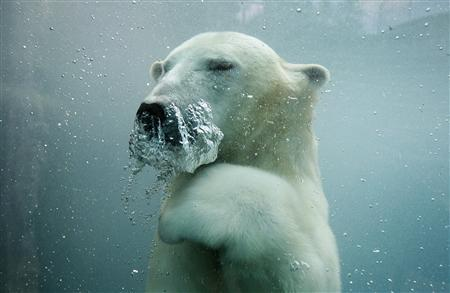 A polar bear swims underwater at the St-Felicien Wildlife Zoo in St-Felicien, Quebec, in this October 31, 2011 file photo. Polar bears' designation as a threatened species was challenged in a U.S. appeals court on October 19, with a lawyer for Alaska and other parties arguing that regulators had failed to back up the listing. REUTERS/Mathieu Belanger/Files
