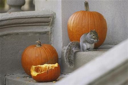 A squirrel eats a pumpkin left over from Halloween on the front porch of a home in the Kenwood neighborhood of Chicago, Illinois, November 27, 2008. REUTERS/Jeff Haynes