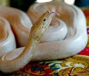<p>Un python blanc s'est échappé d'un sac postal que les employés d'un bureau de poste sud-africain étaient en train de vider. Le destinataire du colis a été inculpé de transport illégal d'animaux par voie postale. /Photo d'archives/REUTERS/Chor Sokunthea</p>
