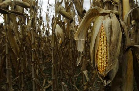 The last of the 2012 drought-stricken corn is seen at Mayne's Tree Farm in Buckeystown, Maryland October 27, 2012. REUTERS/Gary Cameron (UNITED STATES - Tags: AGRICULTURE ENVIRONMENT)