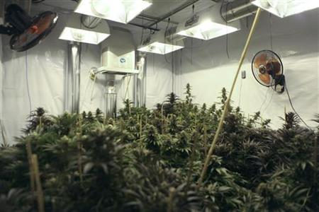 Cannabis plants that will soon be harvested grow under 6000 watts of lighting at Northwest Patient Resource Center in Seattle, Washington January 27, 2012. REUTERS/Cliff DesPeaux