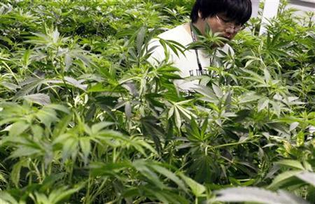 Growth technician Mike Lottman moves through the marijuana plants in a medical marijuana center in Denver April 2, 2012.REUTERS/Rick Wilking