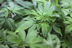 Молодые побеги конопли в Joint Cooperative в Сиэтле, Вашингтон 27 января 2012 года. Колорадо и Вашингтон стали первыми американскими штатами, легализовавшими использование и продажу марихуаны в рекреационных целях. REUTERS/Cliff DesPeaux