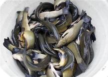 Los bebés que comieron pescado entre los seis meses y el primer año de vida tuvieron un riesgo menor de desarrollar síntomas similares al asma que los bebés que comieron pescado antes de los seis meses o después de su primer cumpleaños, según un estudio holandés. En la imagen, de archivo, pescado capturado al norte de Viena. REUTERS/Herwig Prammer