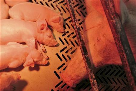A sow rests with its piglets at a farm in Hotemaze, October 26, 2012. REUTERS/Srdjan Zivulovic