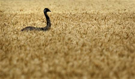An emu makes its way through a wheat field on a farm near Chinchilla, about 250km (155 miles) west of Brisbane, in this October 28, 2011 file photo. REUTERS/Tim Wimborne/Files
