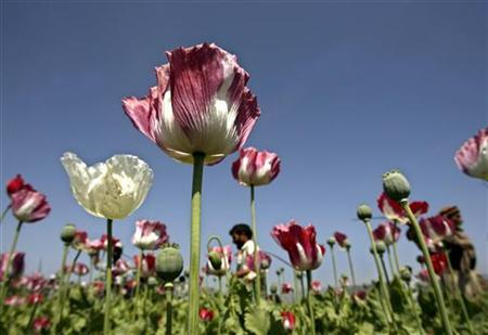 Opium poppy flowers are in full bloom in a field in the eastern province of Ningarhar April 9, 2007. REUTERS/Ahmad Masood