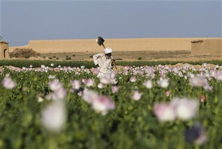 An Afghan man works in a poppy field in the Maiwand district of Kandahar province, southern Afghanistan April 10, 2012. REUTERS/Baz Ratner/Files