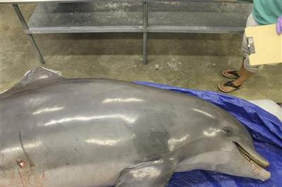 Dolphins found shot, mutilated; hunt on for killers