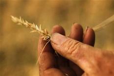 O produtor Scott Wason segura um ramo de trigo em sua propriedade, 430 km a oeste de Brisbane, Austrália. O trigo colhido no centro de New South Wales contém menos proteína do que o esperado, disseram traders, apertando ainda mais a disponibilidade de trigo de alta qualidade da Austrália, segundo maior exportador mundial do cereal. Foto tirada em 29/10/2011 REUTERS/Tim Wimborne
