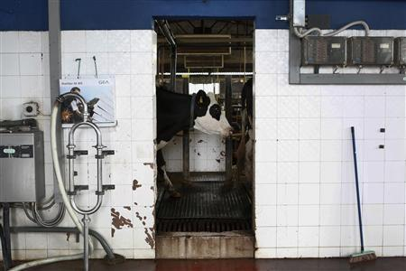 A cow is seen inside an area where the animals are milked at a farm in Orchomenos village, some 140Km (86 miles) north of Athens November 20, 2012. To understand why milk costs more in Greek shops than anywhere else in the European Union, Stathis Aravanis's farm is a good place to start. Each day the 200 cows of Aravanis' farm produce 5.5 tonnes of milk that he has been selling to Delta, a division of food conglomerate Vivartia, since 1990. Delta, which collects the milk every two days, pays him 45 cents a litre. Aravanis said the quality of Greek milk was unbeatable. But he added: '' It could be sold a little cheaper. I wish prices could be held down so that the consumer with a family could buy even one more litre of milk. That would be very important for us. '' To match Story ECONOMY-GREECE/MILK Picture taken November 20. REUTERS/Yorgos Karahalis