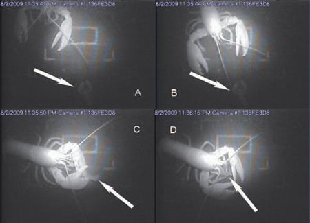 An adult lobster eats a tethered juvenile lobster (as indicated by the arrows) in these handout pictures taken from an infrared camera on the ocean floor near Maine. Graduate student Noah Oppenheim, has been documenting the phenomenon using a special infrared camera that allows him to observe a juvenile lobster tethered with a rope to a spot on the ocean floor. During the daytime, it is fish that typically feed on the tethered juvenile lobsters, but at night the researchers were stunned to see that most of the attacks on the small lobsters were by their larger brethren. REUTERS/Gregory Oppenheim/Handout