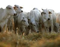 """Gado em pasto na fazenda Santa Maria da Amazônia em Sorriso, Mato Grosso, em setembro de 2011. O Ministério da Agricultura divulgou nota dizendo que o Brasil não tem registro de encefalopatia espongiforme bovina (EEB), conhecida como """"mal da vaca louca"""", após ter realizado testes em um animal morto no Paraná no ano de 2010. 7/09/2011 REUTERS/Paulo Whitaker"""
