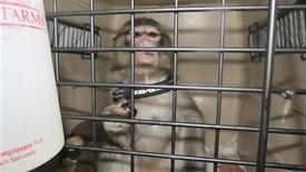 Darwin, the monkey is pictured in this handout photo taken by Toronto Animal Services, December 10, 2012. The stylishly dressed five-month old monkey that caused a frenzy as it wandered around the parking lot of a Toronto-area Ikea store will be transferred to a sanctuary, officials said on Monday. Police were called to the furniture store on Sunday afternoon in Canada's most populous city after the monkey broke loose from its cage and began running around a parking area. REUTERS/Toronto Animal Services/Handout