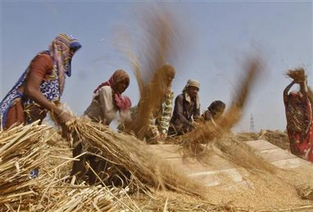 Labourers thresh paddy crop in a farm at Sanand in Gujarat October 30, 2012. REUTERS/Amit Dave/Files