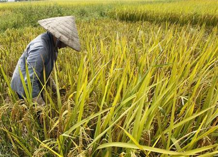A farmer harvests rice at a paddy field outside Hanoi October 11, 2012. REUTERS/Kham/Files