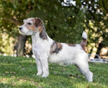 A Russell Terrier, one of two new breeds to be included in the Westminster Kennel Dog Club Show, is shown in an undated handout photo. The Westminster Kennel Club Dog Show is expanding its venue and adding two new breeds, the Russell Terrier and Treeing Walker Coonhound, for a total of 187 that will vie for the Best in Show. REUTERS/Carol Beuchat/Westminster KC/Handout