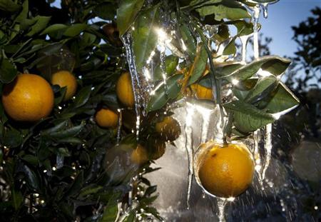 A protective layer of ice form on oranges in a grove near Dover, Florida December 14, 2010. REUTERS/Scott Audette