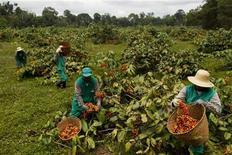 Trabalhadores colhem frutos de guaraná em uma fazenda em Maués, 256 quilômetros a leste de Manaus. 1/12/2012 REUTERS/Bruno Kelly