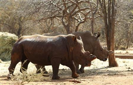 Rhinos with cut horns walk at a farm in Musina, Limpopo province May 9, 2012. REUTERS/Siphiwe Sibeko