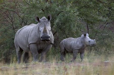 A White Rhino and her calf walk in the dusk light in Pilanesberg National Park in South Africa's North West Province April 19, 2012. REUTERS/Mike Hutchings