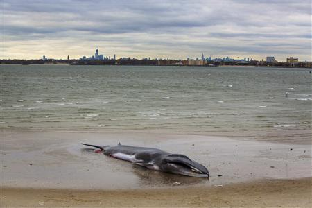 A deceased beached whale lies on a beach with the skyline of New York rising behind it in the Queens borough region of Breezy Point, New York, December 27, 2012. A 60-foot finback whale that washed up on a beach in New York City on Wednesday has died, a marine rescue official said on Thursday. REUTERS/Lucas Jackson
